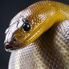 Snake - ait Kullanıcı Resmi (Avatar)